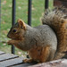 Fox Squirrel - Photo (c) Jeffrey Beall, some rights reserved (CC BY-SA)