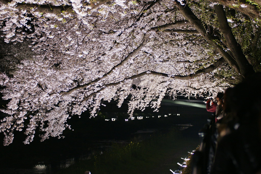 2010野川桜ライトアップ 2