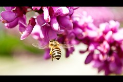Yes, it's just a Bee (resiros) Tags: china nature delete10 delete9 campus delete5 delete2 spring shanghai delete6 delete7 delete8 delete3 delete delete4 save save2 bee cherryblossom sjtu deletedbydeletemeuncensored xuejahui