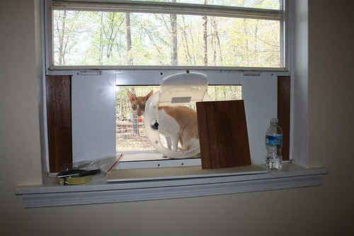 Rooney Lee, an orange and white Cornish Rex cat of amazing handsomeness, sits in the cat veranda and looks like he thinks he might be getting away with something, being in THE GREAT OUTDOORS like this.  The cat veranda is the size of a very very small window-mounted air conditioner, and mounted in almost exactly the same way.