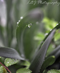 After the Rain XI (Hammonton Photography) Tags: macro water grass rain photography photo newjersey pix photographer bokeh pics lj nj picture drop photograph atlanticcity raindrops 365 aftertherain atlanticcounty southjersey raindrop snj xi hammonton southernnewjersey dropofwater dropofrain southnj project365 acnj ljphotography southernjersey hammontonphotography aftertherainxi