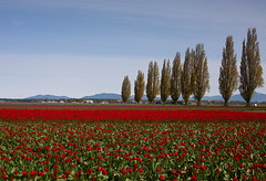 """More Bars In More Places"" (Bojorchess) Tags: trees red landscape bars tulips places skagit landscapeset bojorchess"