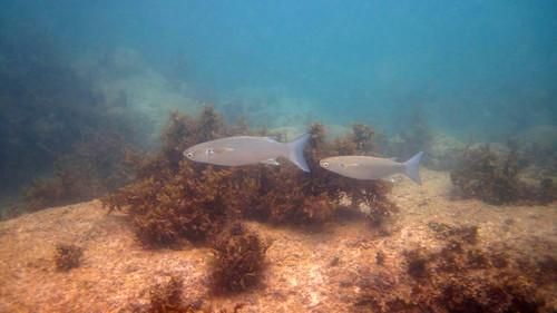 koh Samui Snorkel chaweng beach south サムイ島 チャウエンビーチ南でスノーケル9