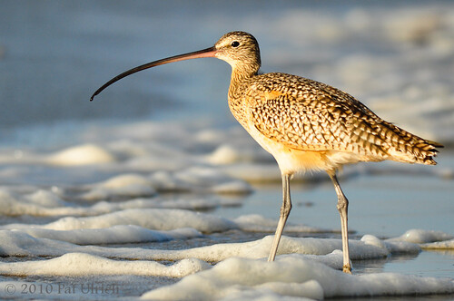 Curlew at Morro Bay