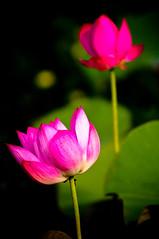 DSC_5998 (neofedex) Tags: flower lotus kaohsiung   nelumbonucifera  kaohsiungmetropolitanpark
