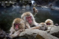 Sleeping Snow Monkeys (Stuck in Customs) Tags: world travel family sleeping wild nature japan photography monkey blog high asia dynamic stuck natural photograph maxim onsen range nagano primate hdr trey travelblog saru customs shigakogen naganoprefecture chubu honshu japanesemacaque snowmonkeys threewisemonkeys naganoken  ratcliff yamanouchi  sanen iwazaru mizaru kikazaru shimotakai jigokudaniyaenkoen honsh hdrtutorial stuckincustoms nihonzaru  treyratcliff photographyblog naganoshi chbu stuckincustomscom  sanbikinosaru jigokudaniyaenken soetop50spotsfordaydreamers