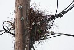 Monk Parakeet- East Boston,MA (wsweet321) Tags: ma eastboston monkparakeet