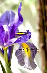 [I] Iris (Luca Graziani) Tags: iris italy flower italia fiore lazio santamarinella rm