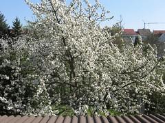 Kirschblüte 2007