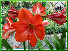 2 lovely flowering stalks of scarlet-coloured Hippeastrum (Barbados Lily)