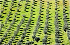olive trees with shadows