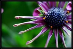 The Baby One! (karissneisha) Tags: plant flower macro nature purple bokeh petal africandaisy