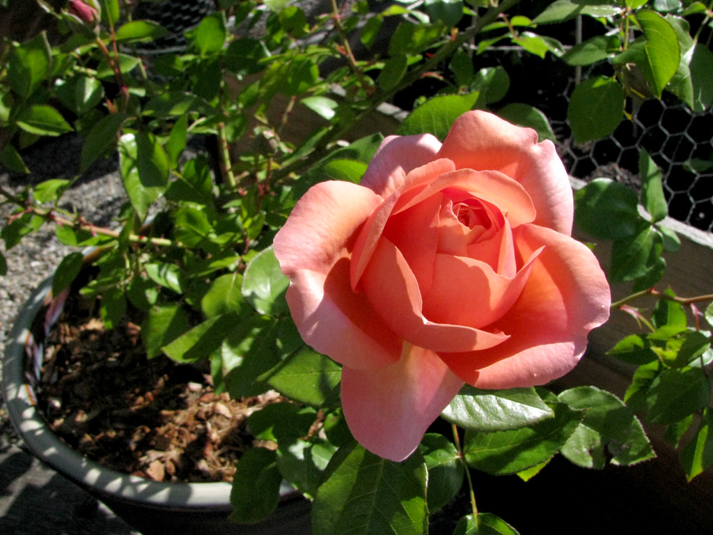 first rose 2010