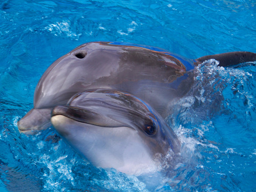 From flickr.com: dolphins {MID-72850}