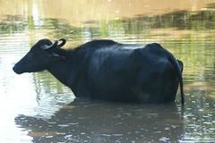 Water Buffalo (tim ellis) Tags: nationalpark buffalo srilanka waterbuffalo gamedrive udawalawe bubalusbubalis udawalawenationalpark