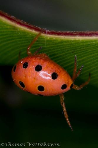 Ladybird, Spider or Ladybird Spider