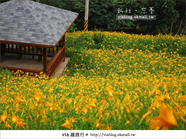 【台中休閒農場】2010金針花~新社沐心泉金針花12
