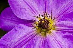 Stop Whispering (etravus) Tags: new york garden botanical bronx clematis nybg newyorkbotanicalgarden thenewyorkbotanicalgardensflowers