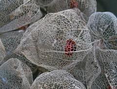 Seed Pods (brewbooks) Tags: washington pod pattern network plantae groundcherry physalis chineselantern reticulated solanaceae physalisalkekengi 2734 lakeforestpark solanales