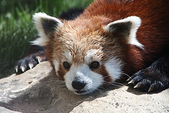 Red Panda (AgentThirteen) Tags: zoo panda redpande