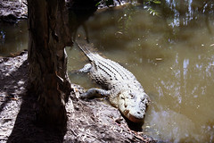 Ferme aux crocodiles Hartley's Creek - Cairns (benoit871) Tags: creek australia crocodile australien cairns hartleys australie austrlia australi  australi australija austraalia    strala     ausztrlia     austrlija  awstralja