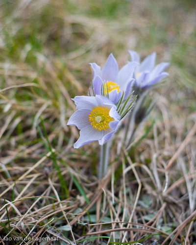 Pasque flower 1