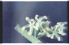 12    080927-1598-010300 (h35312) Tags: 12  aspera ulmaceae  planch thunb urticales  aphananthe      0809271598010300
