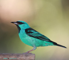 Srie com o macho do Sa-azul, Sa, Sa-bico-fino ou Sa-bicudo - (Dacnis cayana) - Series with the male of the Blue Dacnis or Turquoise Honeycreeper - IMG_7950 (Flvio Cruvinel Brando) Tags: friends brazil naturaleza male bird nature birds animal animals braslia azul brasil cores natureza passarinho pssaro aves ave males macho animais cor pssaros flvio birdwatcher machos turquesa bluedacnis dacniscayana sa brando bwg saazul cayana dacnis sabicofino sabicudo turquoisehoneycreeper flviobrando salveanatureza planetaterraeseusanimaisincrveis thewonderfulworldofbirds
