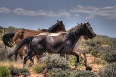 Wild Horses III (RightBrainPhotography) Tags: wild arizona horses horse usa southwest history nature canon desert indian nation az canyon hike page highways 5d navajo slot hdr highdynamicrange waterholes photomatix beautifulcapture rightbrainphotography 20100515
