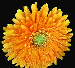 Loretta's Lovely Blossom (moelynphotos) Tags: california flower macro nature yellow petals spring onblack supershot coth5 lorettasgarden rainbowelite
