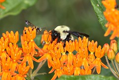 Bees on Butterfly Weed (DrPhotoMoto) Tags: nc bee picnik butterflyweed