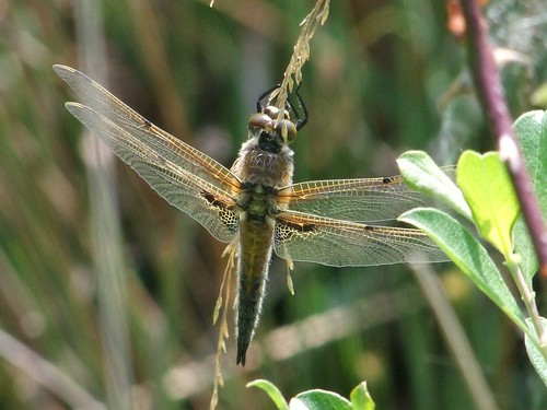 Four-spotted Chaser dragonfly (2)