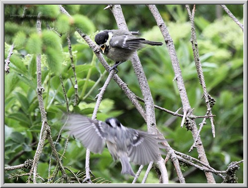 Coal Tit Feeding Fledgeling 1