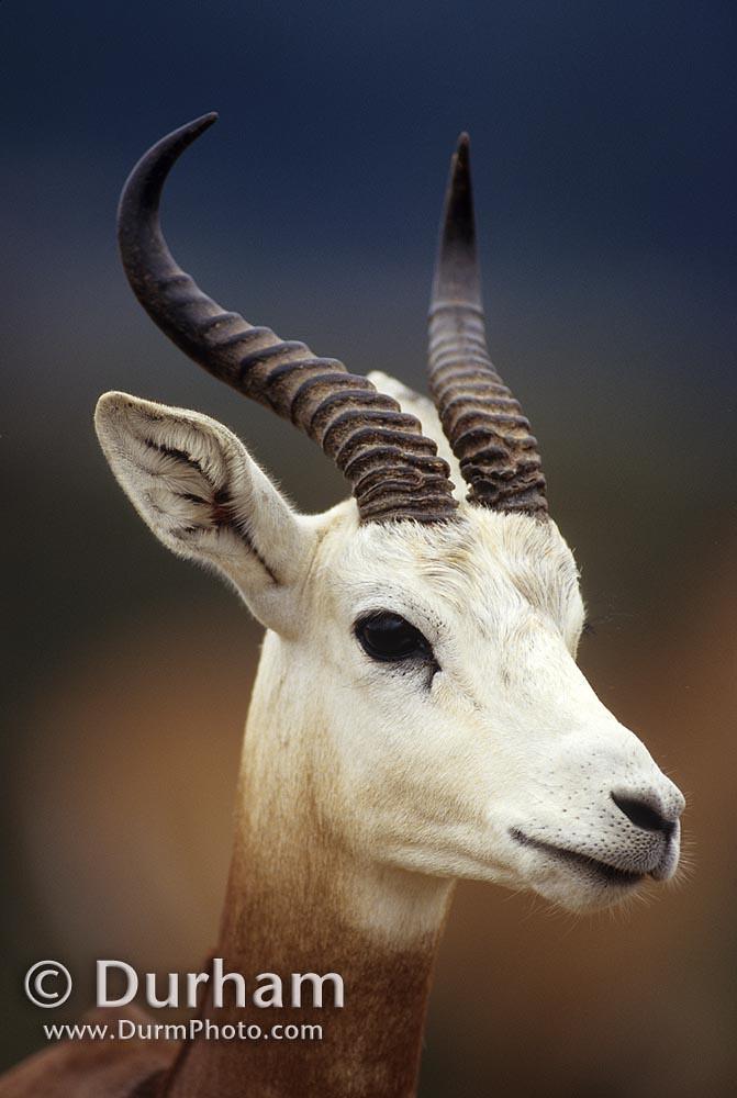dama gazelle (Gazella dama)