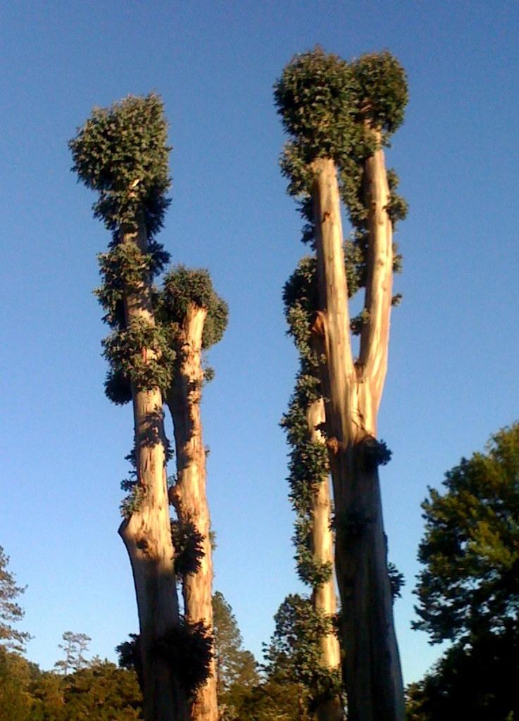 150/365: Eucalyptus