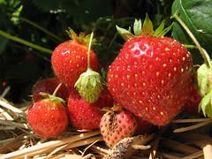 Berries on the Vine (alykat) Tags: macro berries strawberries butlersorchard germantownmd