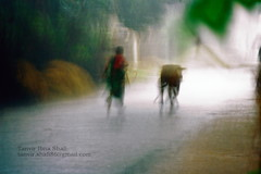 Run for shelter (tanvir_shafi (back to wide-angle-wishing for Ultra) Tags: people rain lady canon eos cow rainyday place action ef rainyseason 200mm tanvir shafi bagladesh birishiri 1000d tanvirshafi