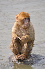 Young Barbary Macaque (Truus & Zoo) Tags: netherlands animals zoo magot vulnerable dierentuin nuenen barbarymacaque berberaap macacasylvanus dierenrijk itsazoooutthere
