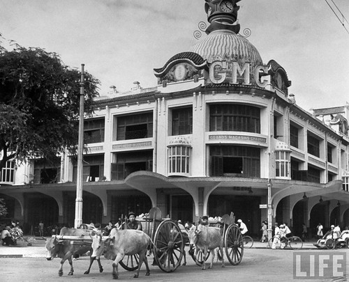 Saigon 1948 - In French Indo China, oxen pulling carts down the street.