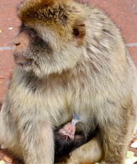 Newborn ....... (abbietabbie) Tags: baby monkey mother newborn therock gibraltar macaque barbaryape macacasylvanus nbw specanimal notanapeinfactbutataillessmacaquemonkey