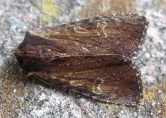 Clouded-bordered Brindle moth