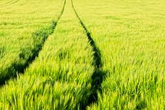 lush greens (Dennis_F) Tags: black green field lines germany landscape deutschland spur sony feld felder spuren trace traces sigma fields grn dslr 50 baden karlsruhe landschaft schwarz 50mmf14 sigma50mm linien gerste weingarten sigmalens a700 kraichgau festbrennweite sonyalpha sonydslr sigma5014 sigma50mmf14 alpha700 sonya700 sonyalpha700 dslra700 sigmaobjektiv