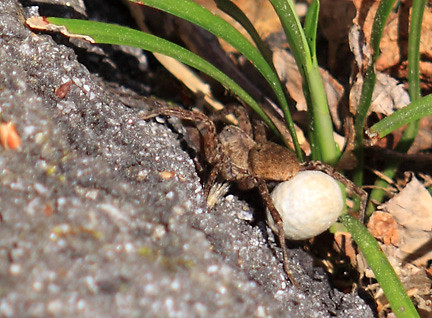 wolf spider with egg sac - back