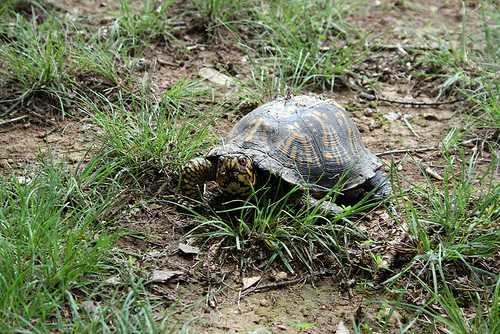 An Eastern Box Turtle looks at the camera from an indifferent and thin bit of lawn.  Turtle faces always look angry.  Her eyes are a deep orangish-red, set in a striking face of bright yellow with black lacing.  One foreleg is forward, caught in the act of taking a step, and the same bright yellow scales with black edges can be clearly seen on it.  Her shell is a dusty black with darker, orangier yellow markings on the scutes in patterns suggestive of alien handprints.  Her shell is also mildly deformed, the sides tucked and a bit steep rather than being smoothly domed, with clear growth ridges on the scutes.  The edges of her peripheral scutes are rough and damaged.  She has clearly been crawling through a cobweb, the remains of which are caught on the back of her shell along with bits of detritus.
