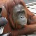 Spidey saying hi to Siswi. Tanjung Puting N.P. Kalimantan. Indonesia 11MAY10