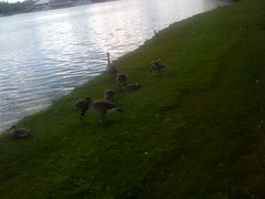 Goslings & Sylvester's Family