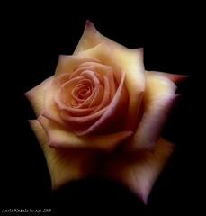 "Rose (cienne45) Tags: friends italy rose liguria cienne45 carlonatale genoa natale nervi excellence fantasticflower rosegarten abigfave rosetodinervi spiritofphotography ""flickraward"" nervirosegarten"
