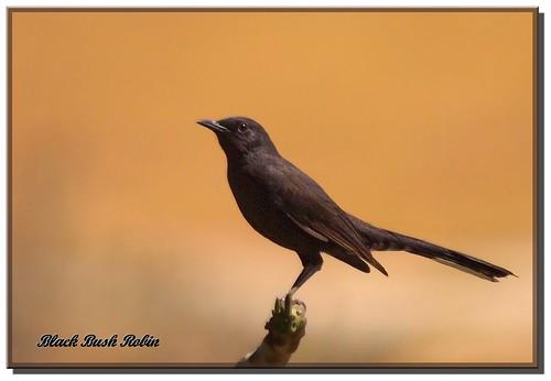 Black bush robin الشولة السوداء