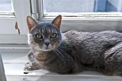 MiauMiau (jeanmichelchuiche) Tags: chat yeux jolie chatte regard oreilles verts grise fenetre borddelafenetre