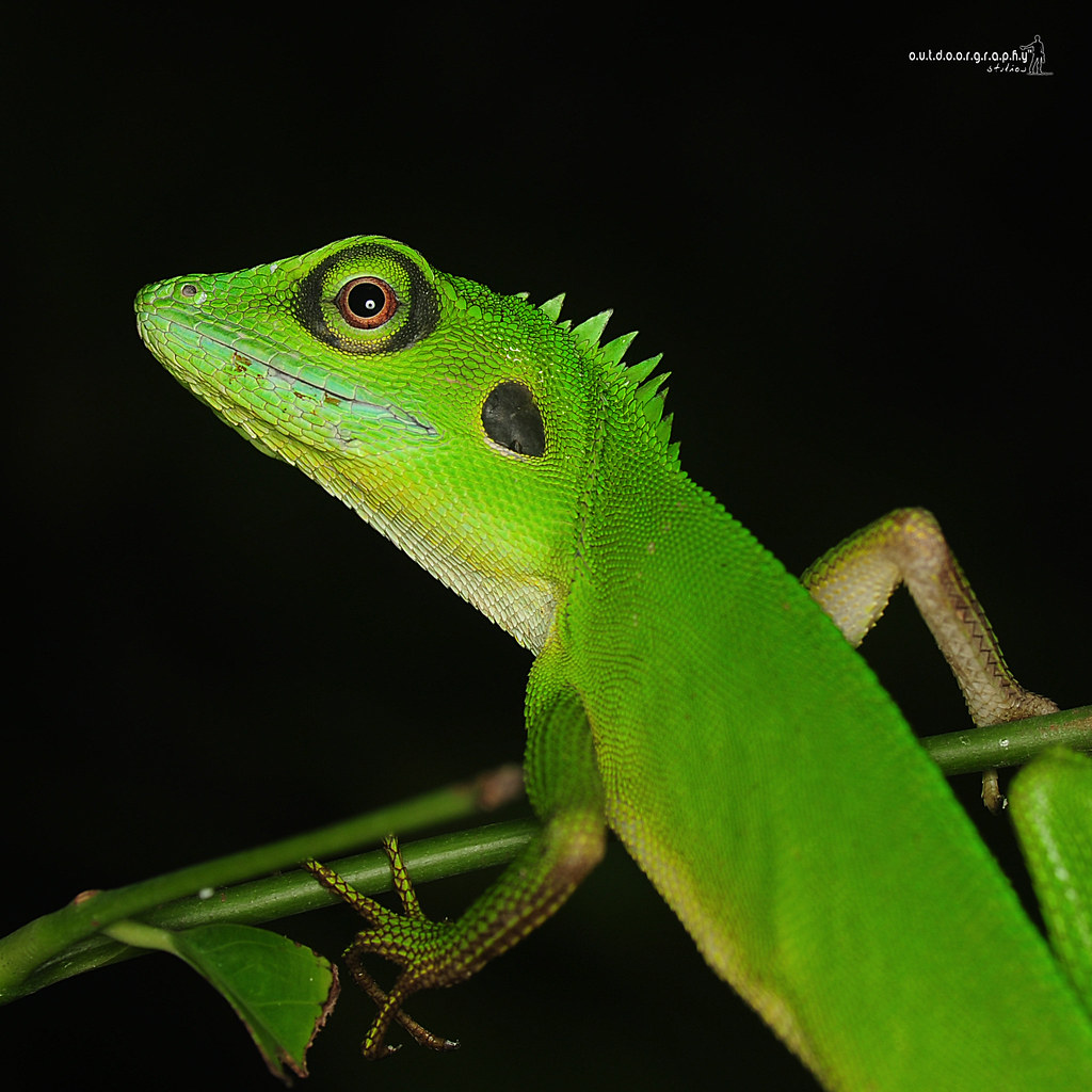 Green Crested Lizard | Agamidae | Bronchocela cristatella | Rekreasi Tupah (by Sir Mart Outdoorgraphy™)